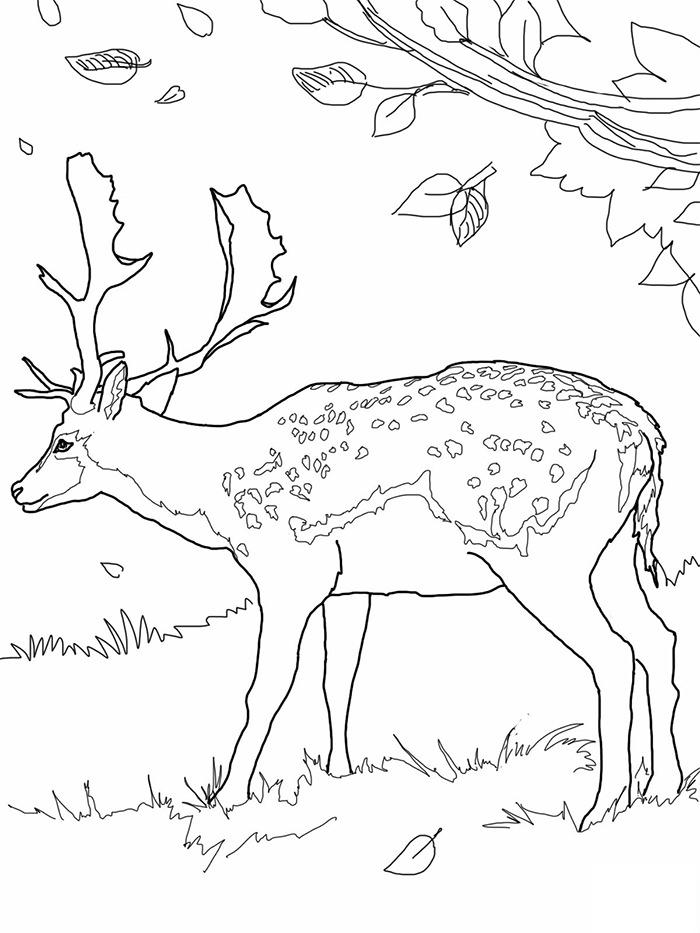 Mule Deer Drawing