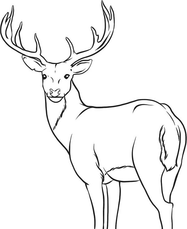 600x736 Awesome Mule Deer Coloring Page 16