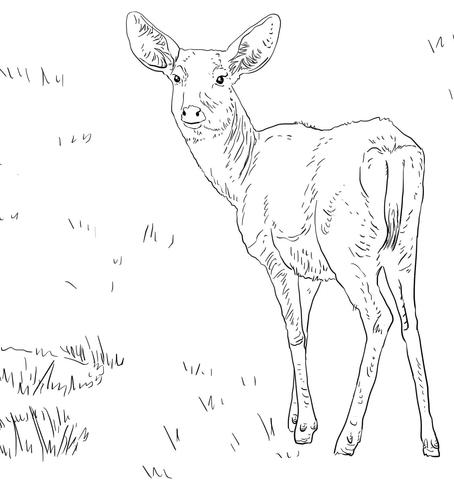 454x480 Female Mule Deer Coloring Page Free Printable Coloring Pages