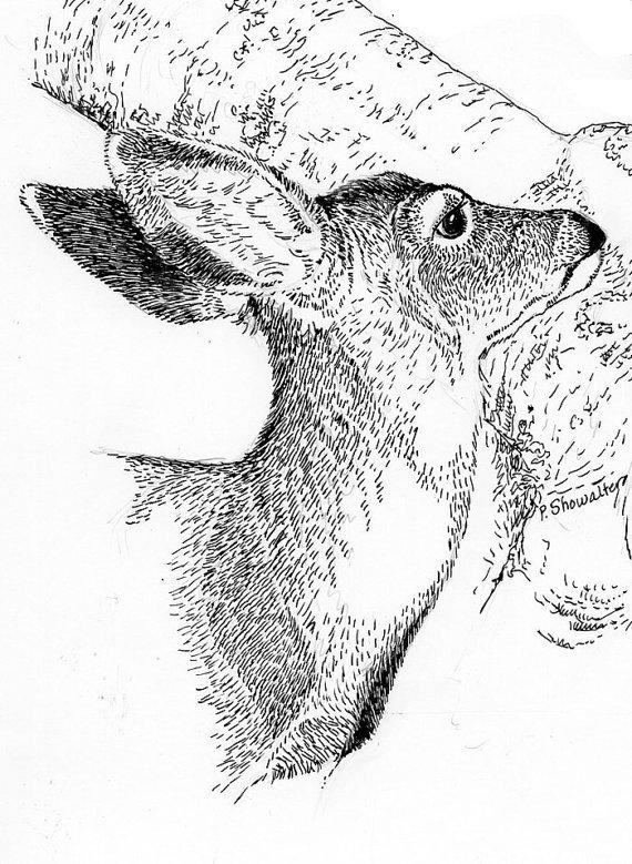 570x779 Young Mule Deer Head Print Of Original Pen And Ink Drawing