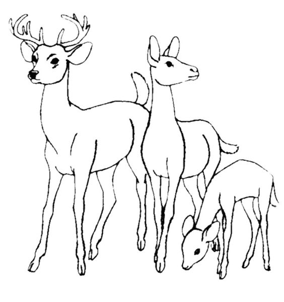 564x601 Coloring Pages Impressive Coloring Pages Draw A Deer Blacktail