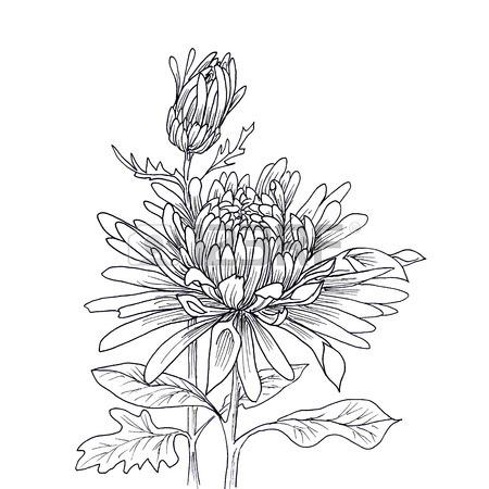Mum Flower Drawing
