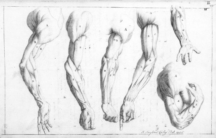 750x481 Arm Anatomy Drawing