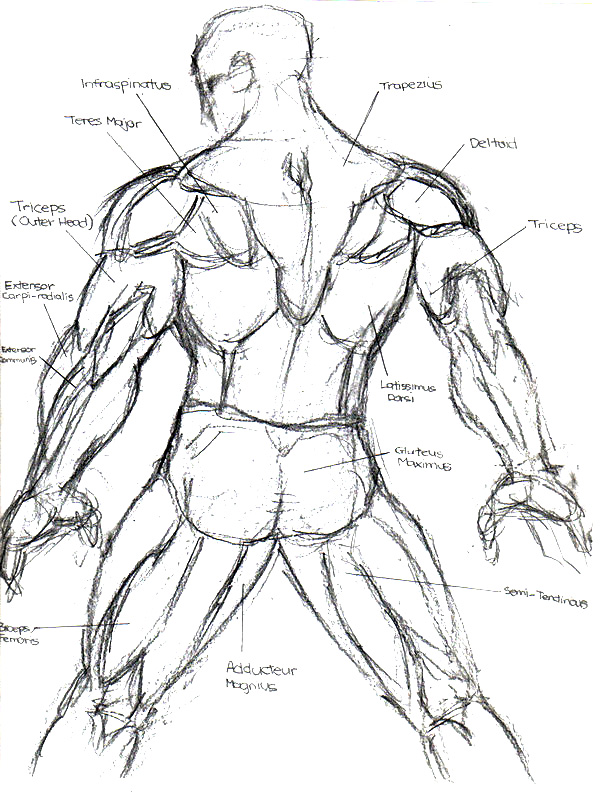 600x793 How to draw man#39s back muscle. Learn How to Drawing.
