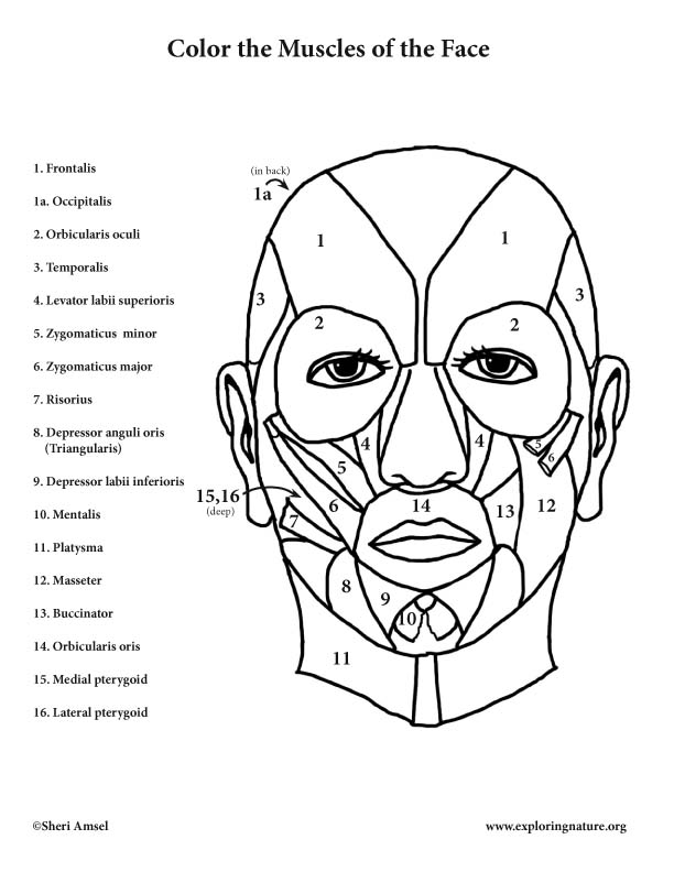 612x792 Muscles Of The Face Coloring Page