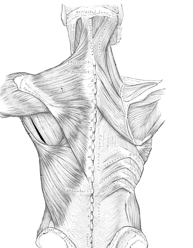 774x996 Muscles Of The Thoracic Region, Dorsal Side