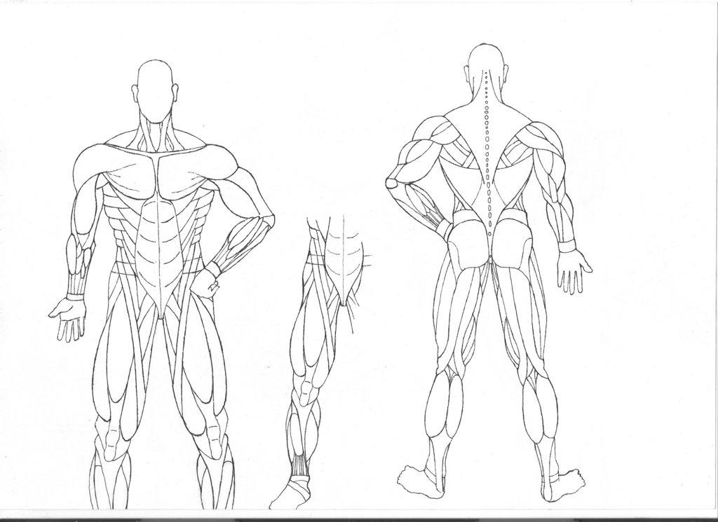 Ziemlich Muscle Anatomy Of Human Body Fotos - Anatomie Ideen ...
