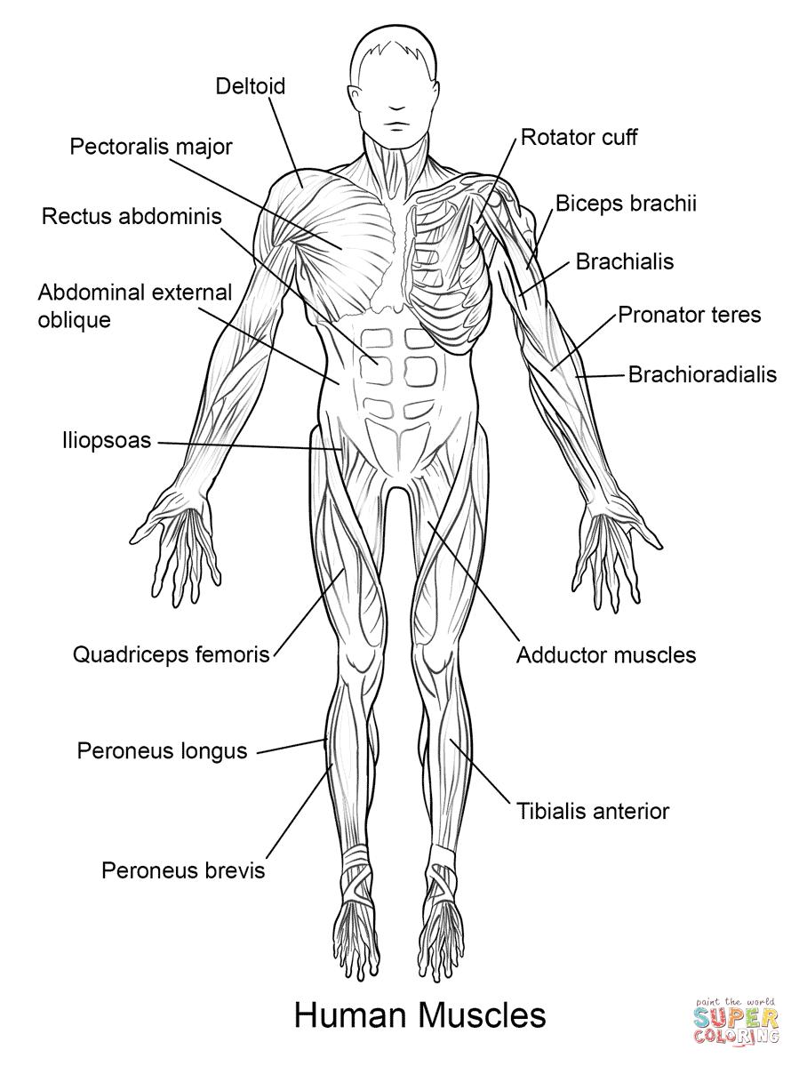 Moderno El Diagrama De Cuerpo Humano Para Los Niños Viñeta ...