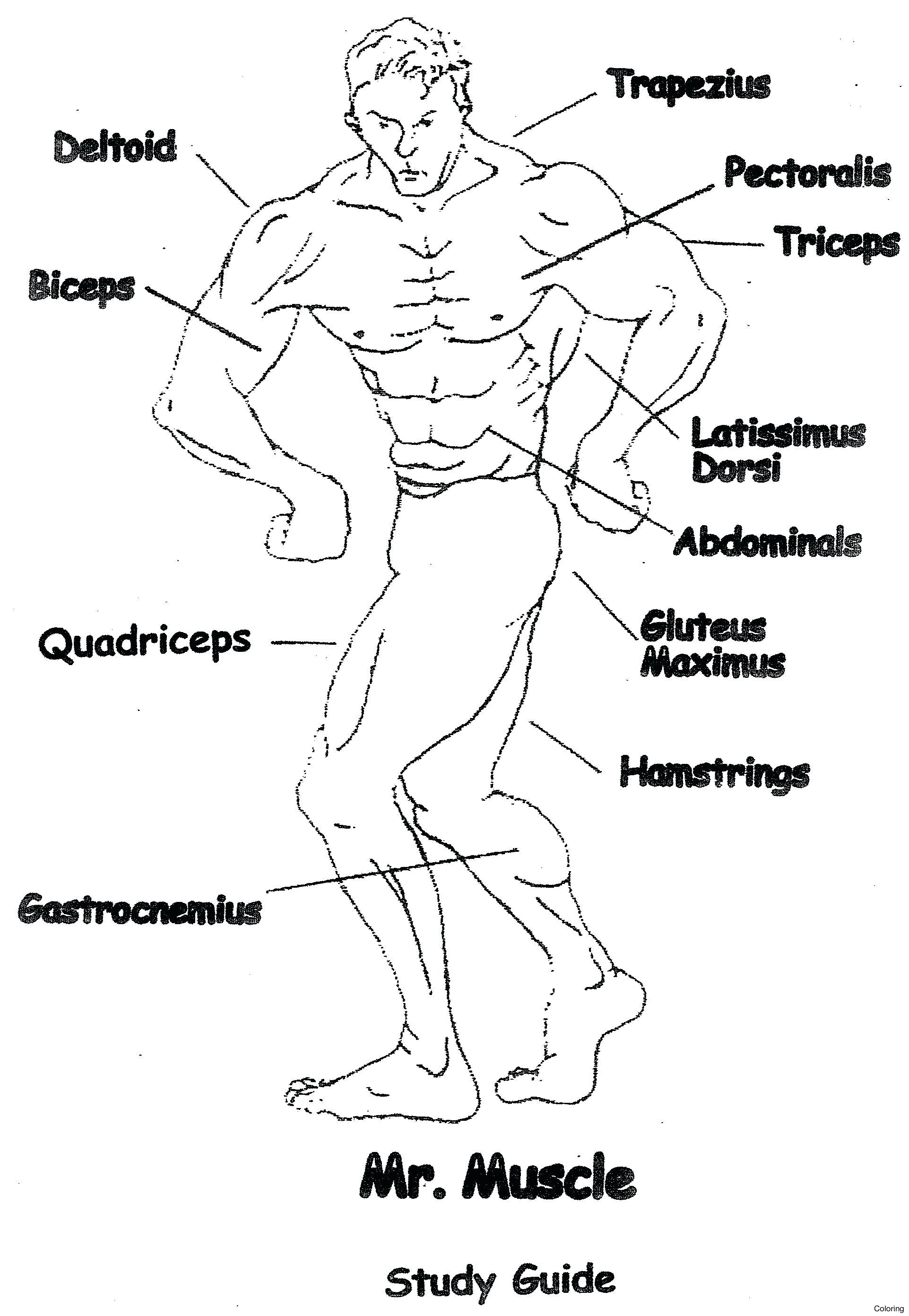 Muscular System Drawing