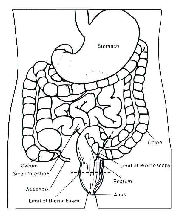 600x729 Digestive System Coloring Page Awesome Human Body Systems Coloring