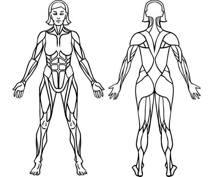 Fantastisch Muscular System Drawing Galerie - Anatomie Von ...