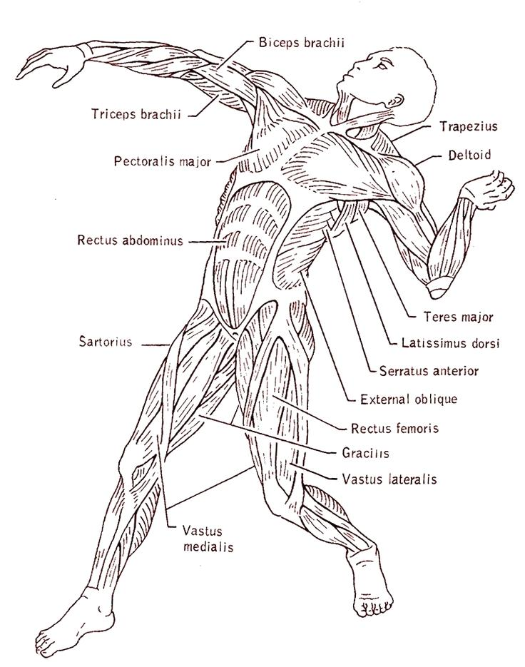736x935 Human Muscle Coloring Muscular System Coloring Pages Educational