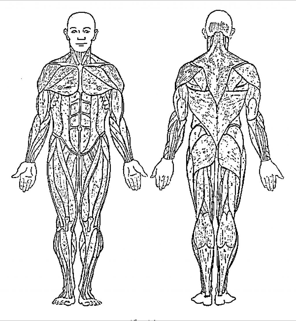 It is a picture of Modest Muscular System Coloring Book