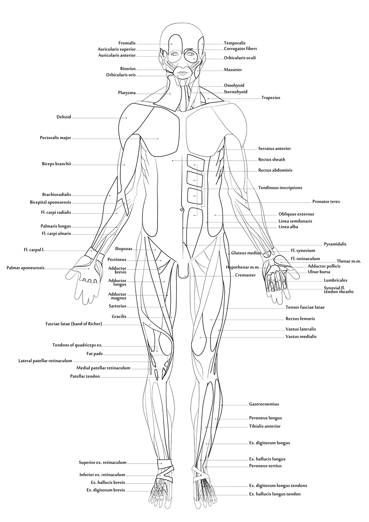 1200x1697 Muscular System Outline
