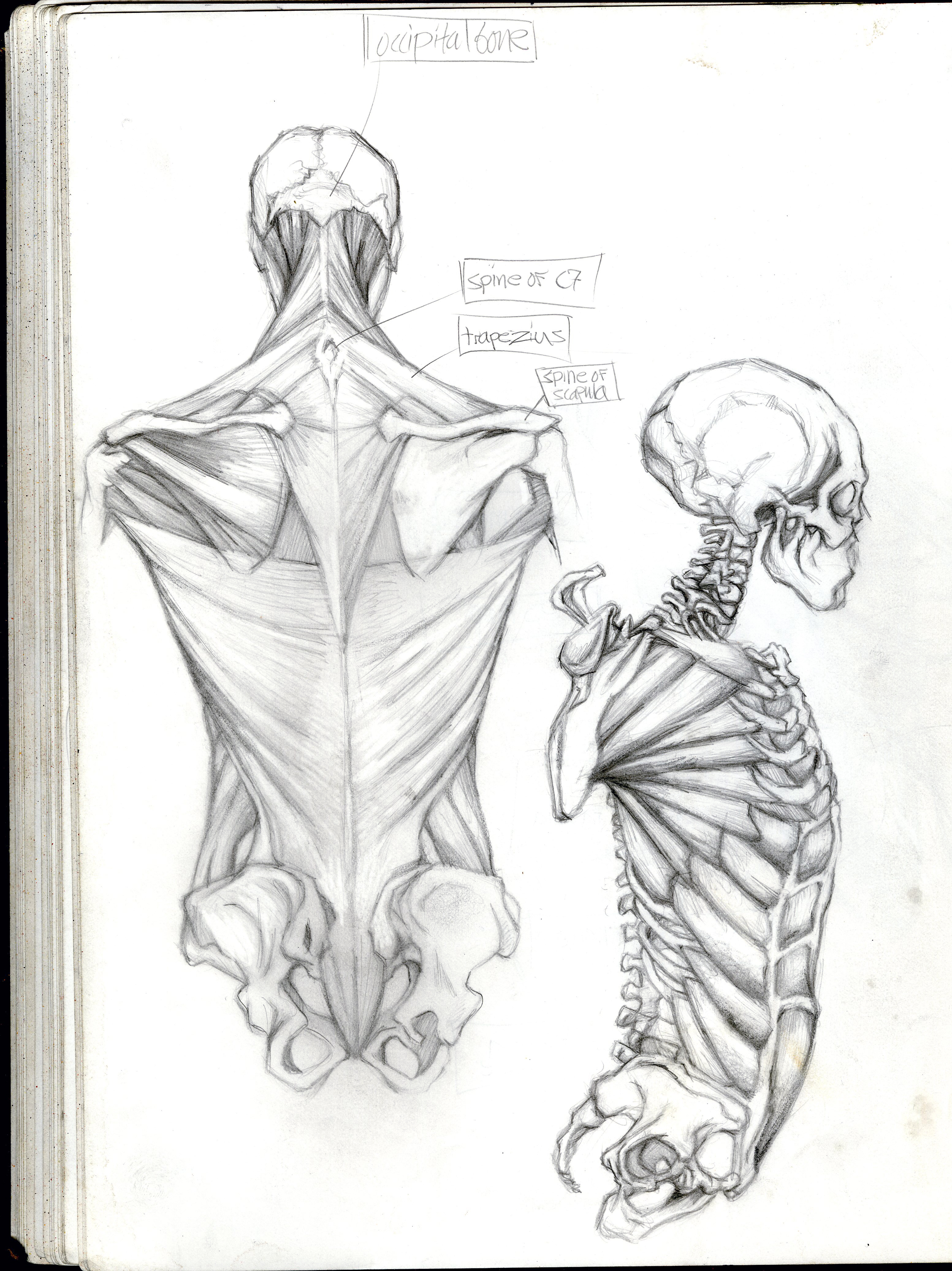 3106x4146 Sketchbook 2005 7) Muscular Skeletal System Back And Side