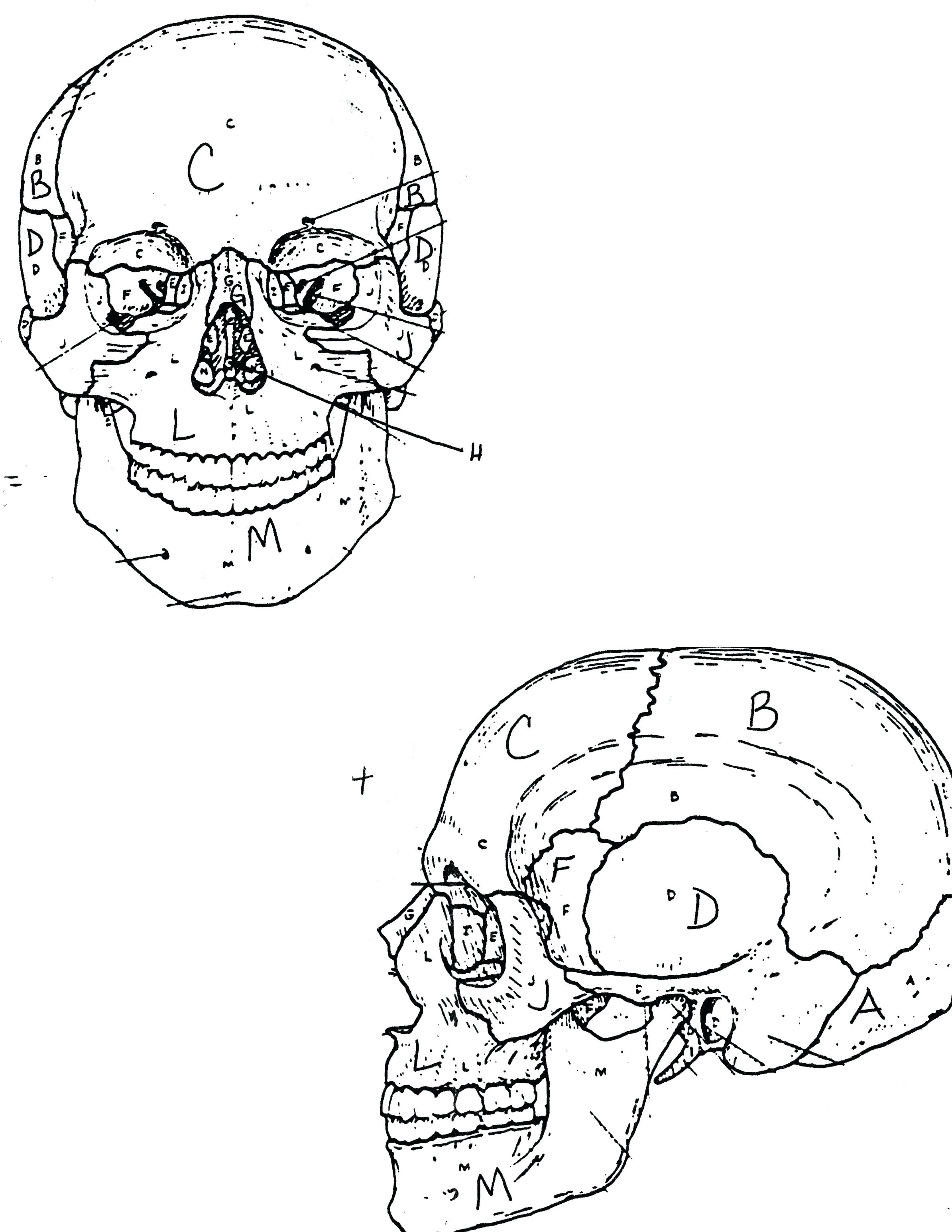2388x3090 Coloring Muscular System Coloring Pages Skull Bones Anatomy