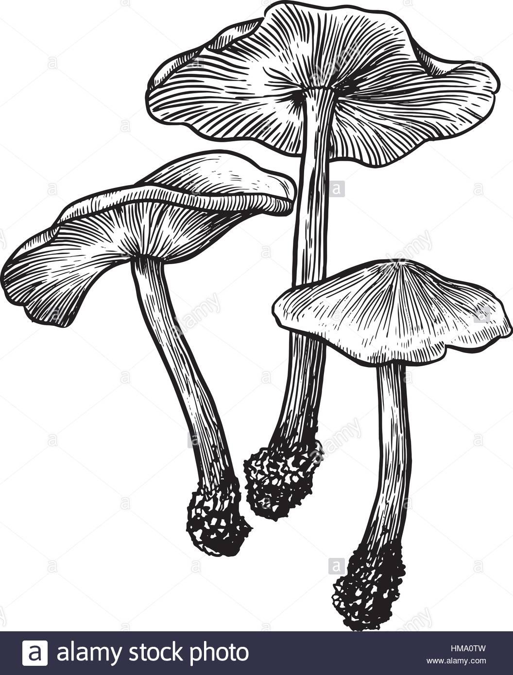 1056x1390 Mushroom Illustration Drawing, Engraving, Line Art Stock Vector