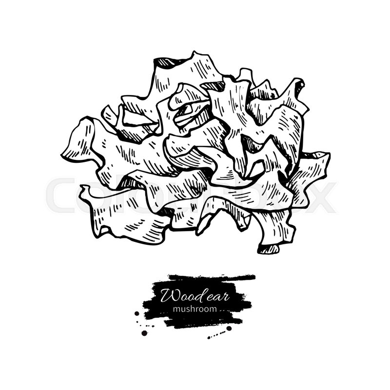 800x800 Wood Ear Mushroom Hand Drawn Vector Illustration. Sketch Food