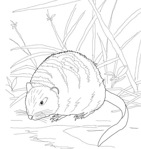 456x480 Muskrat On A River Bank Coloring Page Free Printable Coloring Pages