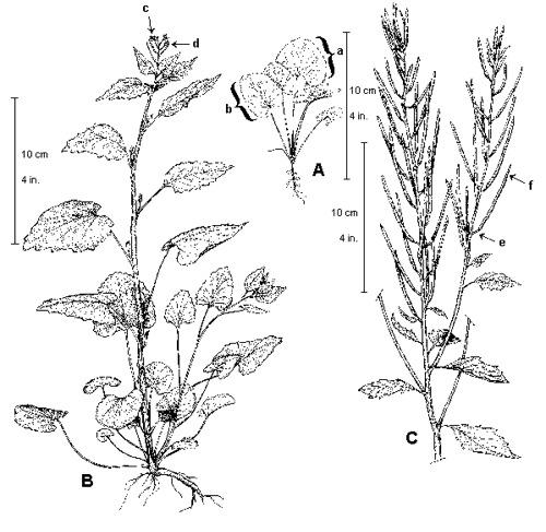 500x487 Forest Pests Garlic Mustard County Of Haliburton