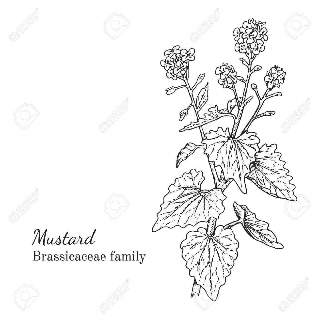 1300x1300 Ink Mustard Herbal Illustration. Hand Drawn Botanical Sketch