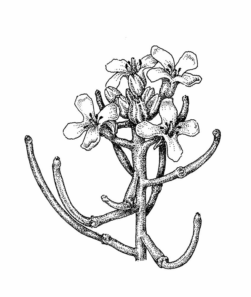847x1000 Alliaria Petiolata (Garlic Mustard) Go Botany