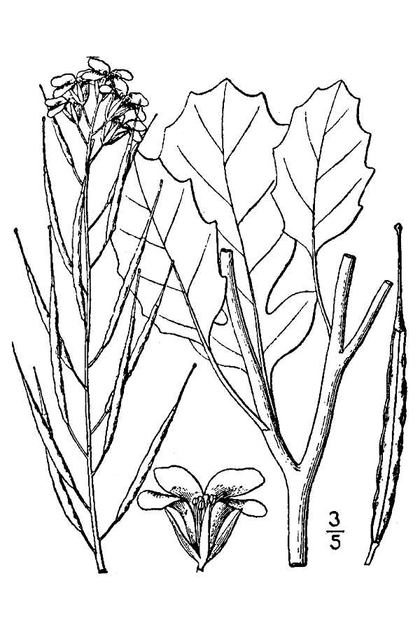 600x900 Large Image For Brassica Juncea (Brown Mustard) Usda Plants