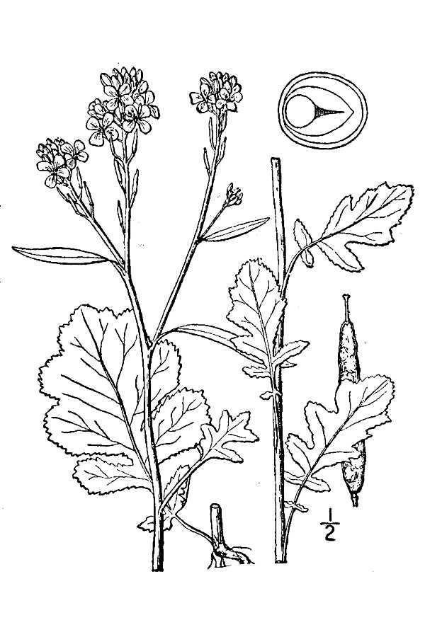 600x900 Large Image For Brassica Nigra (Black Mustard) Usda Plants