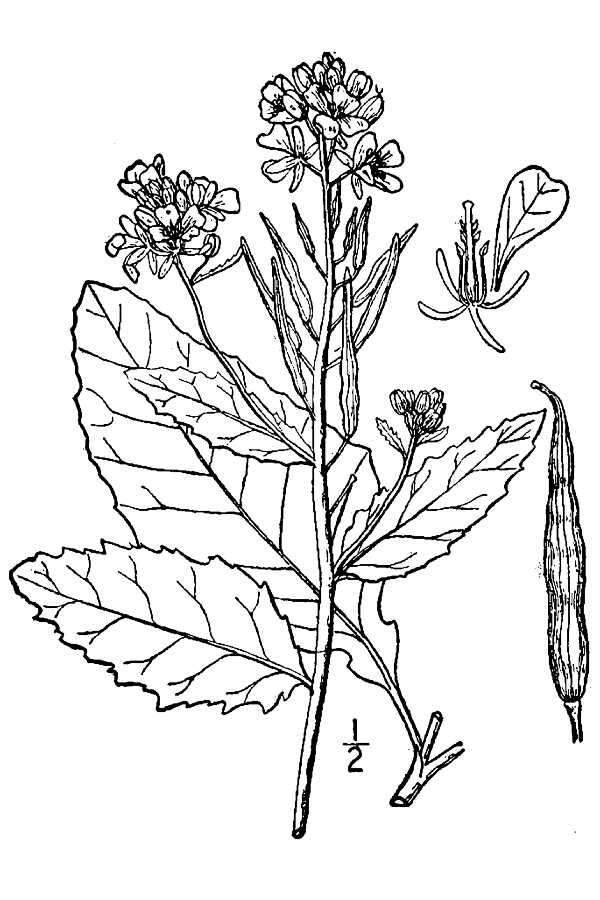 600x900 Large Image For Sinapis Arvensis (Charlock Mustard) Usda Plants