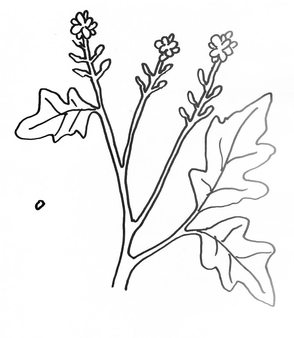 1012x1162 Coloring Page For Parable Mustard Seed Sunday School