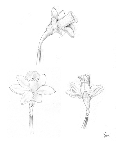 400x487 Daffodils Daffodils, Sketches And Drawings