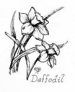 246x300 Daffodils Drawings