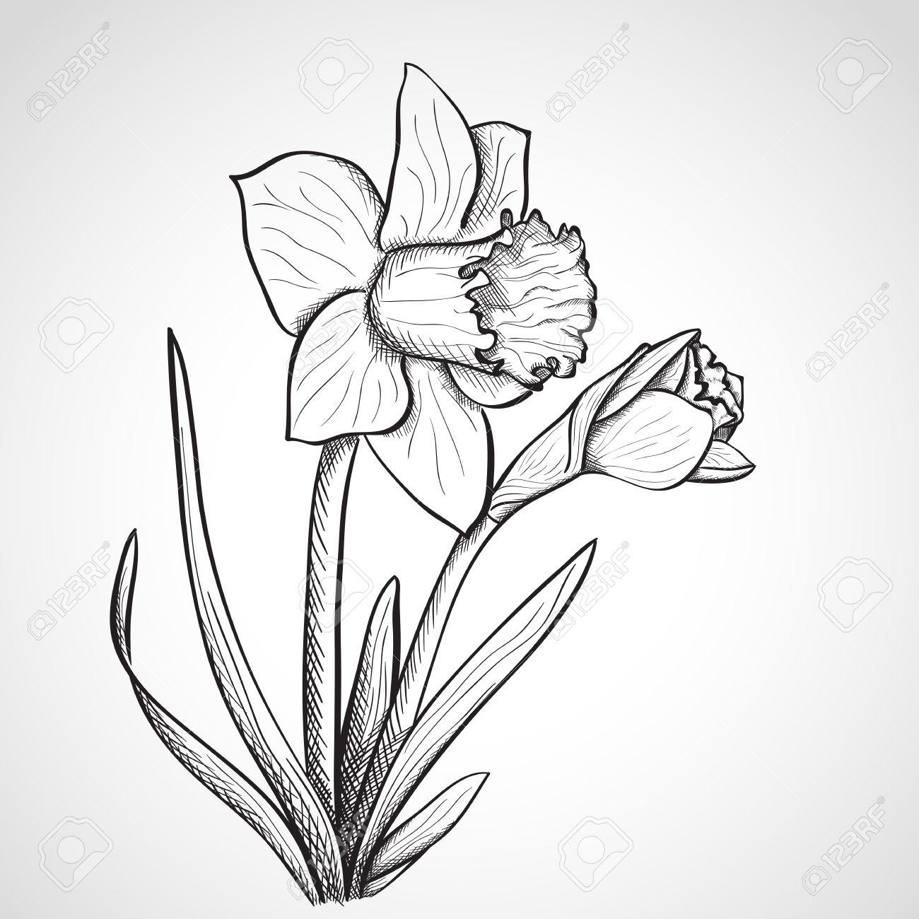 1300x1300 28437054 Sketch Daffodil Hand Drawn Ink Style Stock Photo.jpg