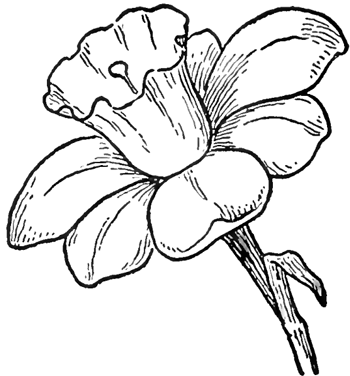 350x376 How To Draw Daffodils With Daffodil Drawing Lessons