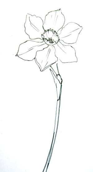 300x554 How To Draw A Daffodil