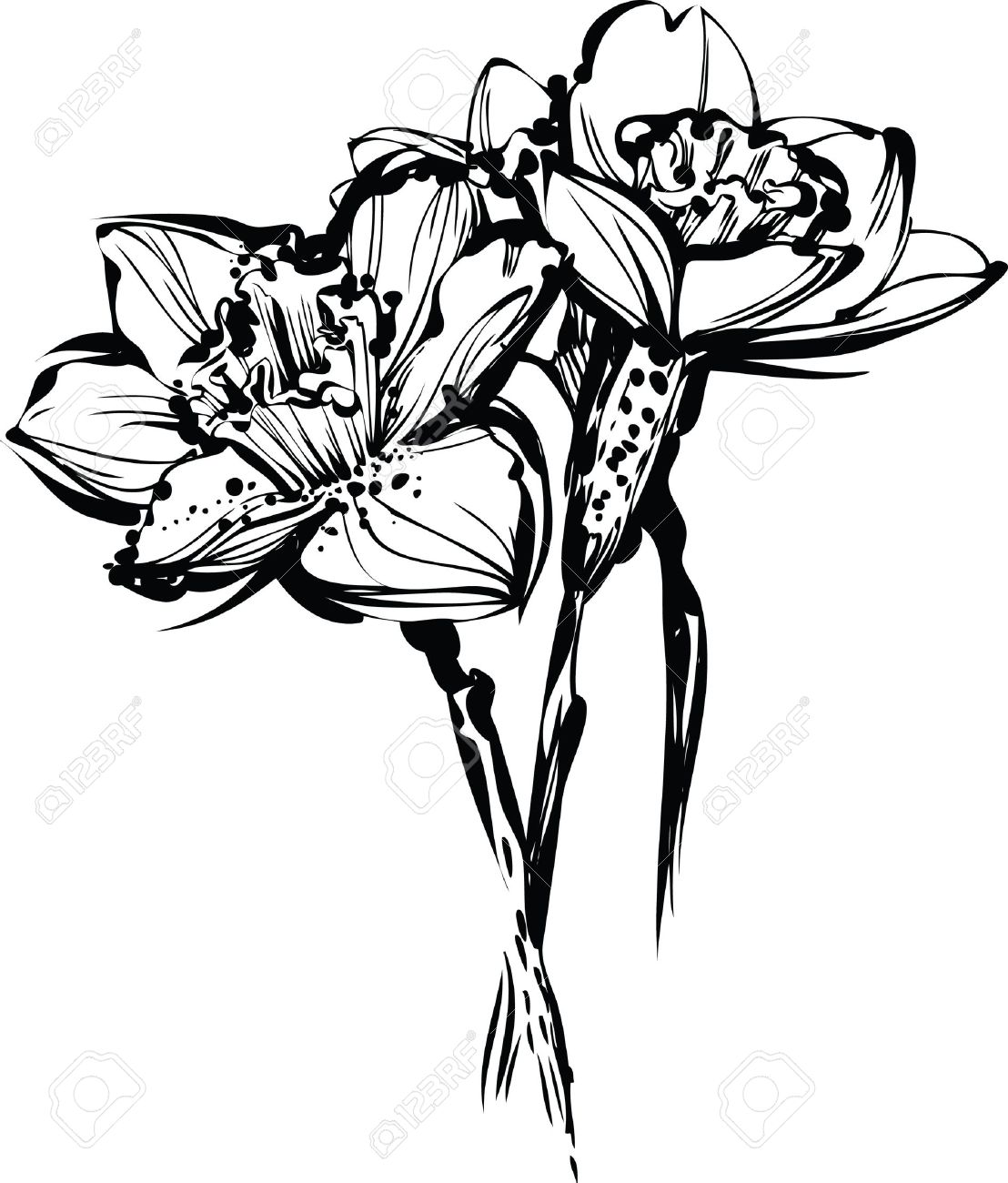 1108x1300 Image Black And White Sketch Of Three Flowers Of Narcissus Royalty