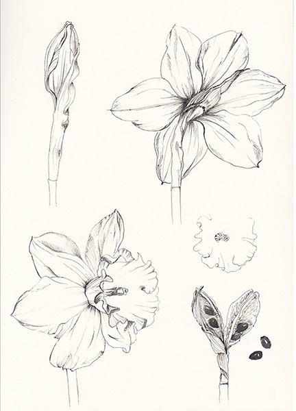 432x600 Narcissus Pseudonarcissus Ink Drawing On Sketchbook