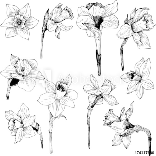 500x500 Set Of Line Drawing Narcissus Peace Garden Botanicals