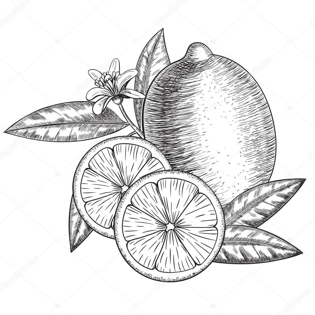 1024x1024 Vector Hand Drawn Lime Or Lemon. Whole , Sliced Pieces Half, Leave
