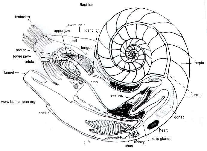Nautilus Shell Drawing At Getdrawings Free For Personal Use