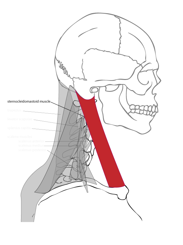 Neck Drawing at GetDrawings.com | Free for personal use Neck Drawing ...