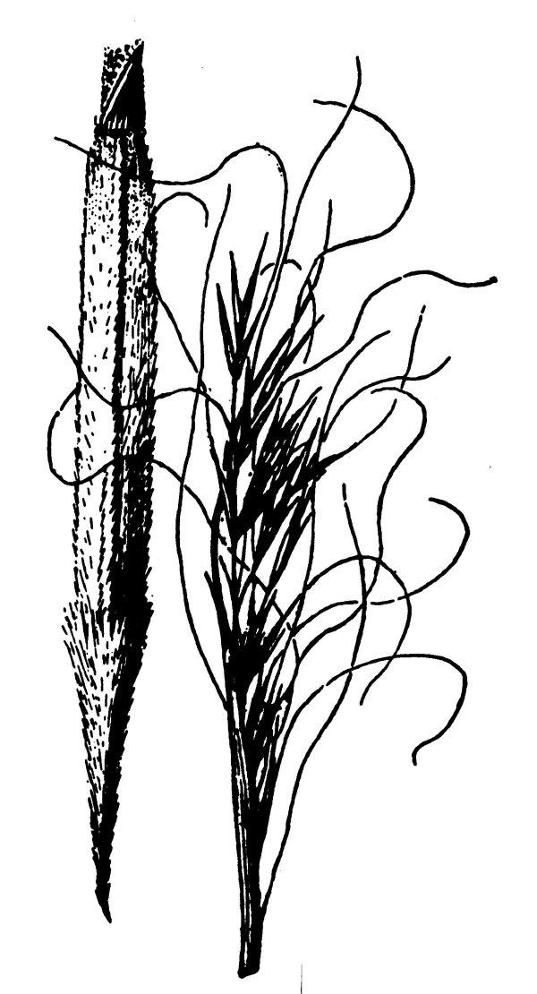 600x1110 Needle And Thread [Hesperostipa Comata]