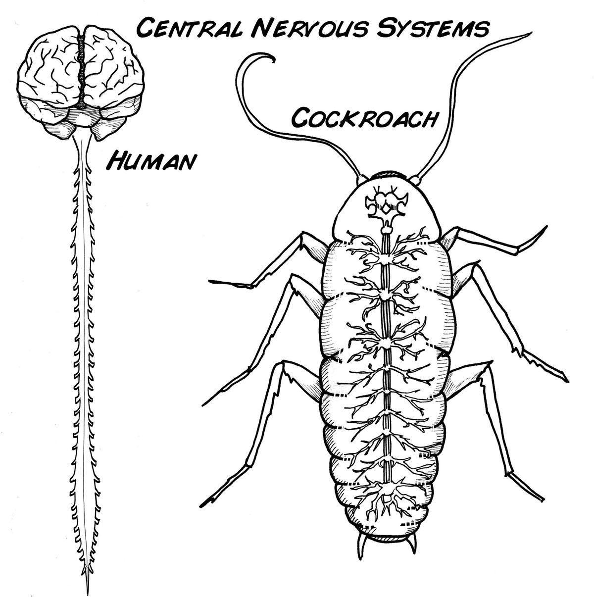 1200x1206 Nervous System Of Cockroach Brain