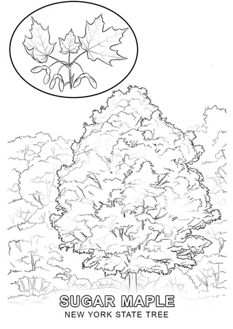 340x480 New York State Tree Coloring Page Free Printable Coloring Pages