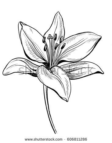 367x470 Nice Pictures Of Drawings Of Flowers Lily Flower Drawing Stock