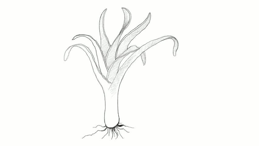 852x480 Stem Vegetable, Motion Clip Illustration Hand Drawn Sketch