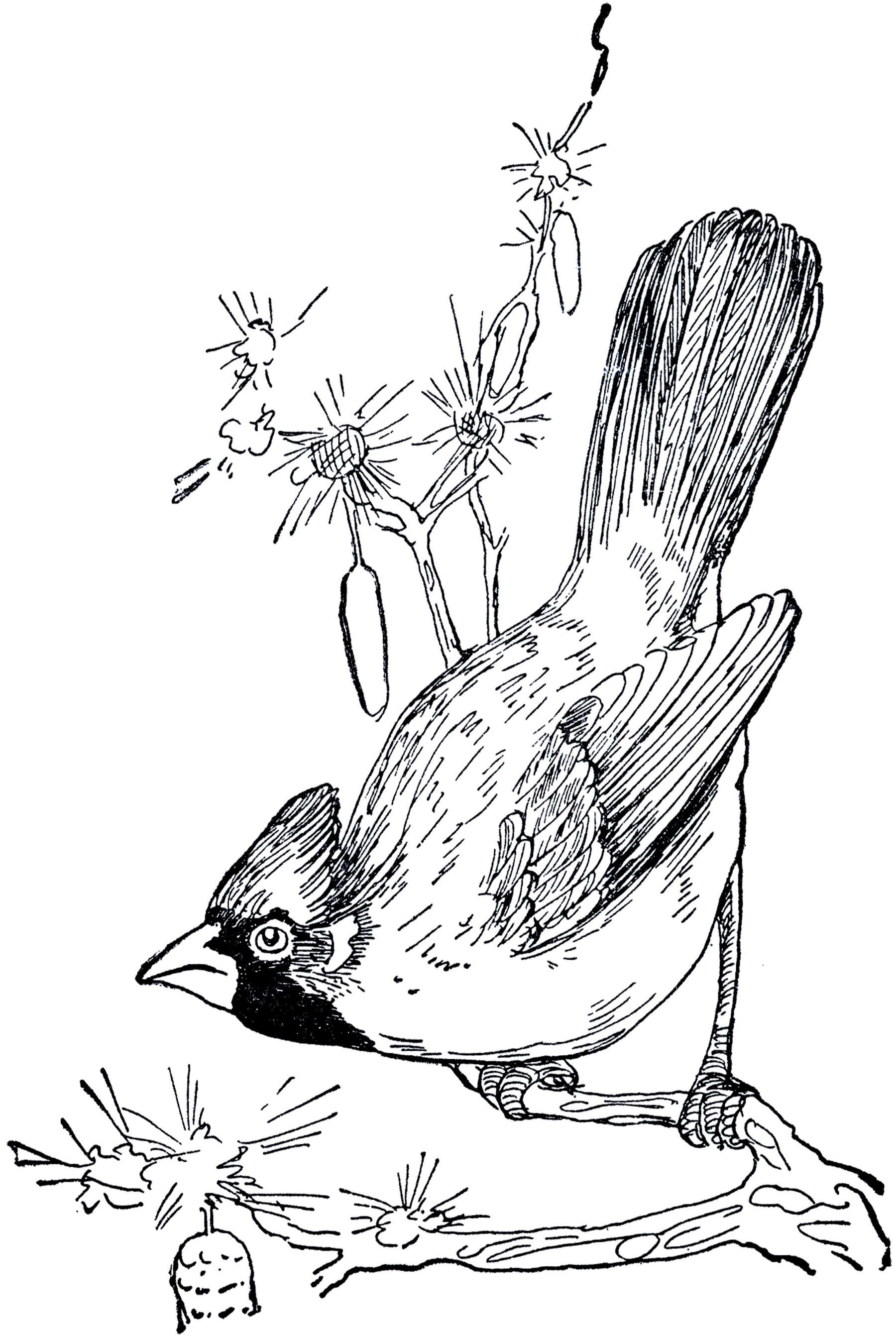 1800x2684 Cardinal Bird Drawing Vintage Cardinal Drawing