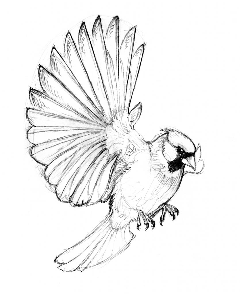 835x1024 Drawing Of A Cardinal