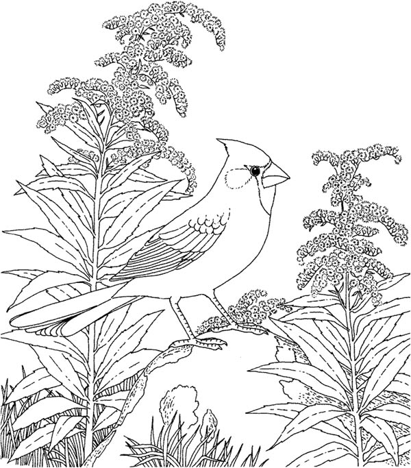 600x683 Animal Northern Cardinal Bird Coloring Pages On Cardinal Coloring