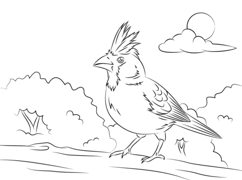 480x358 Perched Northern Cardinal Coloring Page Free Printable Coloring
